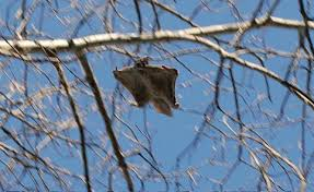 pictures of flying squirrels